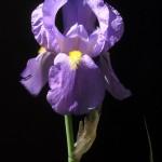 Iris-pallida-subsp.-cengialtii-3