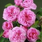 Francisa Kurkdjiana przepis na różę