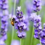 Pszczoła i lawenda