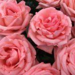 Jeśli święto róż, to tylko w Grasse!
